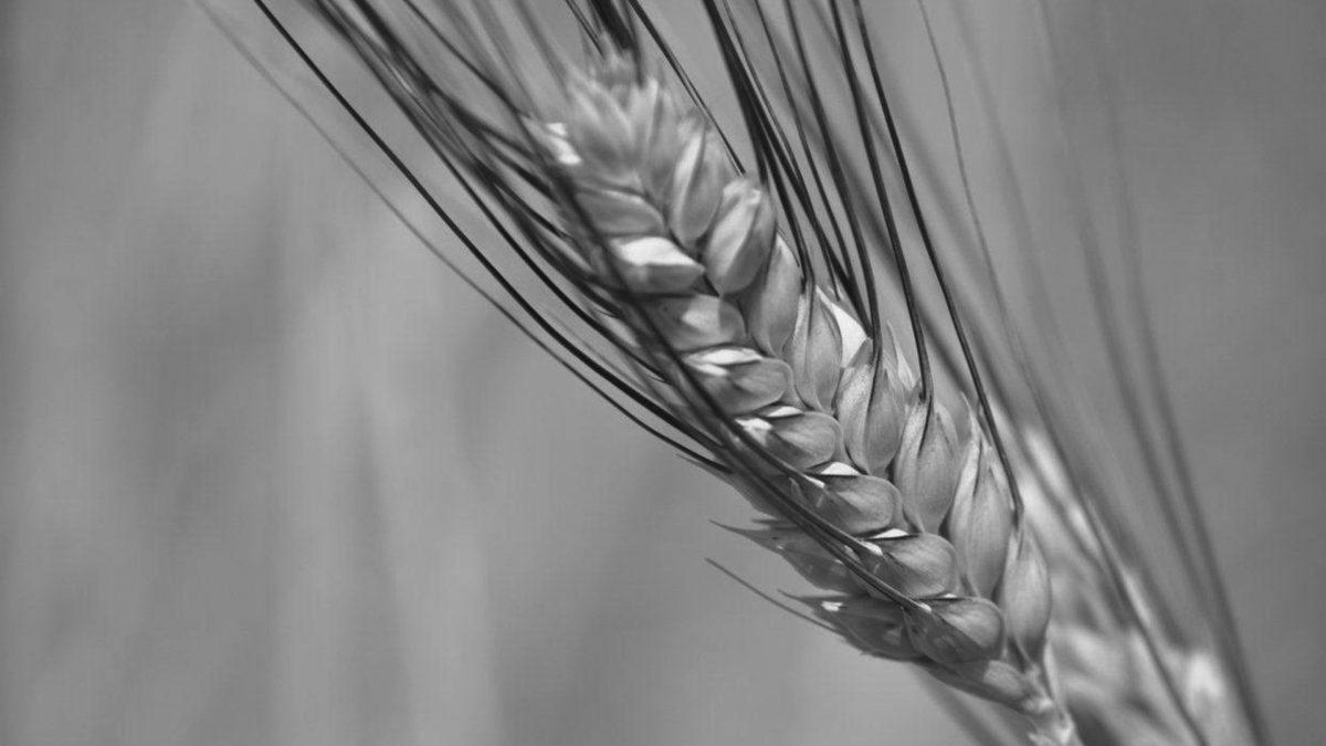 Proteine del grano nella formulazione shampoo Form